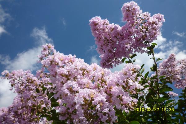 薄いピンク。枝が折れんばかりに大きな房をつけています!!