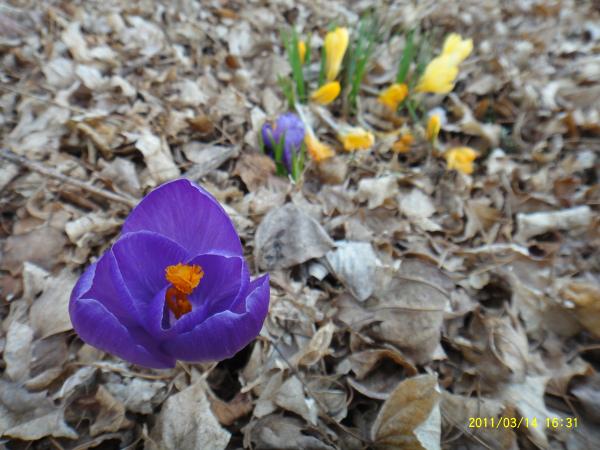 クロッカスは黄色が枯れて紫が咲きました。