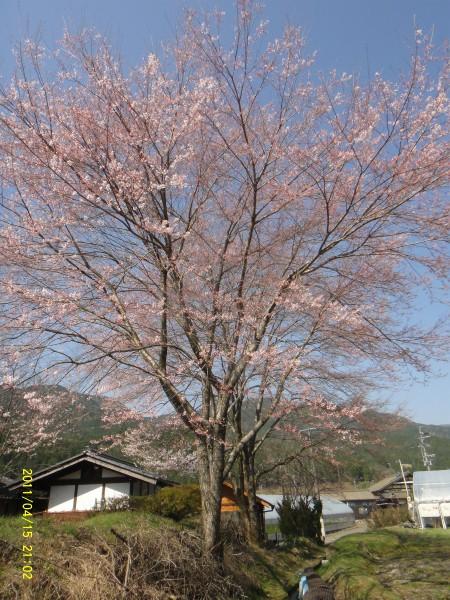 家の裏に桜が咲き始めていました。三分咲きかな?これ位が一番きれいです。
