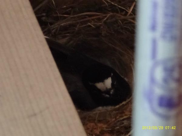 背黒鶺鴒(せぐろせきれい)がプレカット工場の柱の元に巣をかけた。今玉子を温め中!!