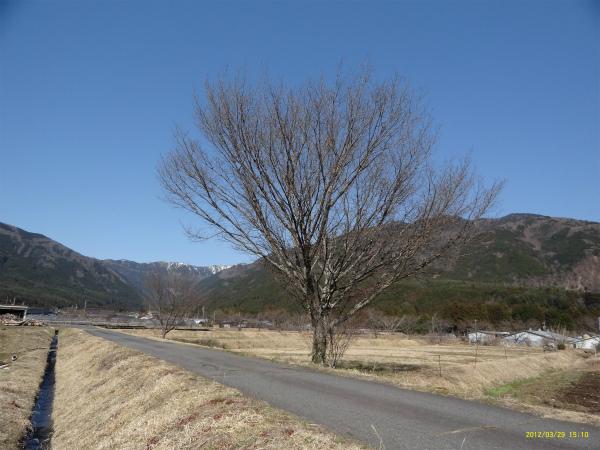 山桜も何となく春らしく赤い芽を膨らませ、奥山の雪も少しになりました。