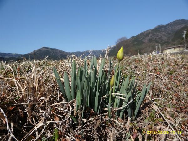 土手の水仙も蕾を膨らませました。もうすぐ咲くぞ!!