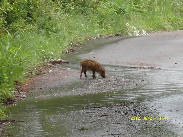 猪の子供「うりんこ」が林道の水溜りでみみずを探しています。  可愛い!!