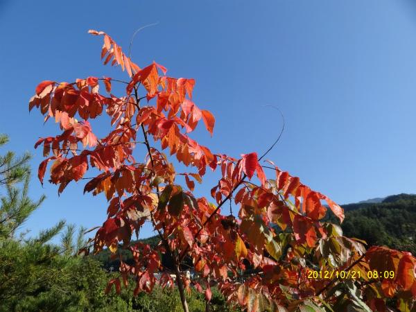 青い空に白膠木(ぬるで)が朝陽を浴びてきれい!!